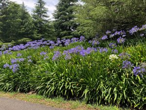 agapanthus nsw southern highlands